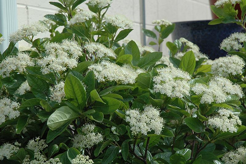 Winterthur Viburnum (Viburnum nudum 'Winterthur') in ...