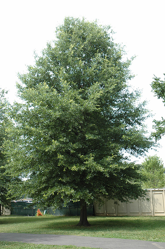 Willow Oak Quercus Phellos In Columbus Dublin Delaware