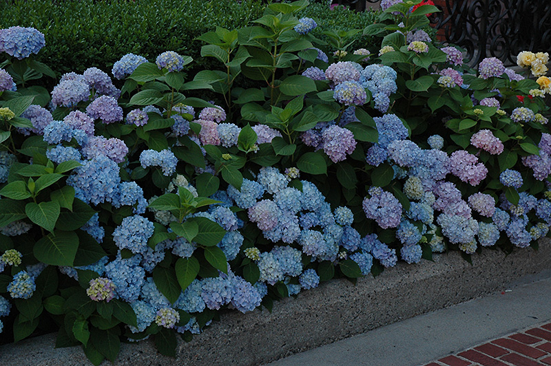 nikko blue hydrangea planting instructions