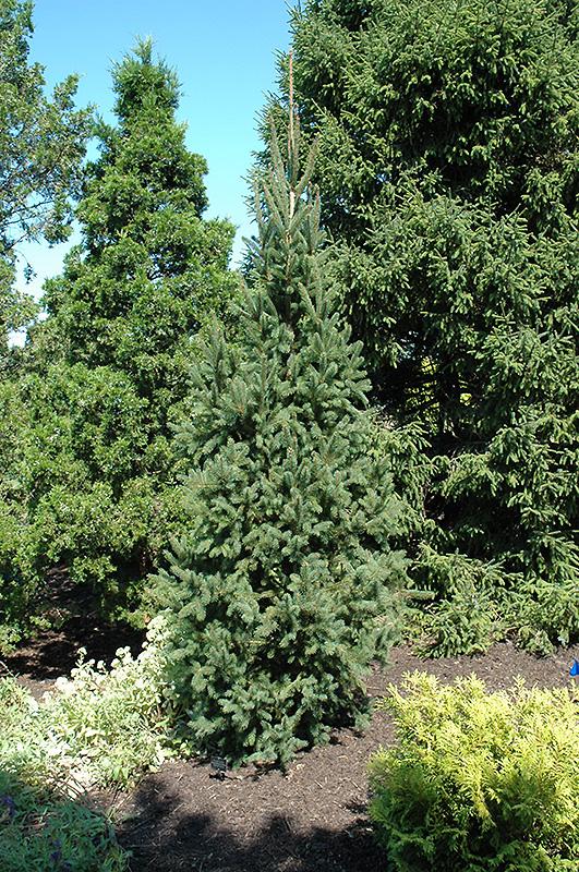 Columnar Norway Spruce Picea Abies Cupressina In