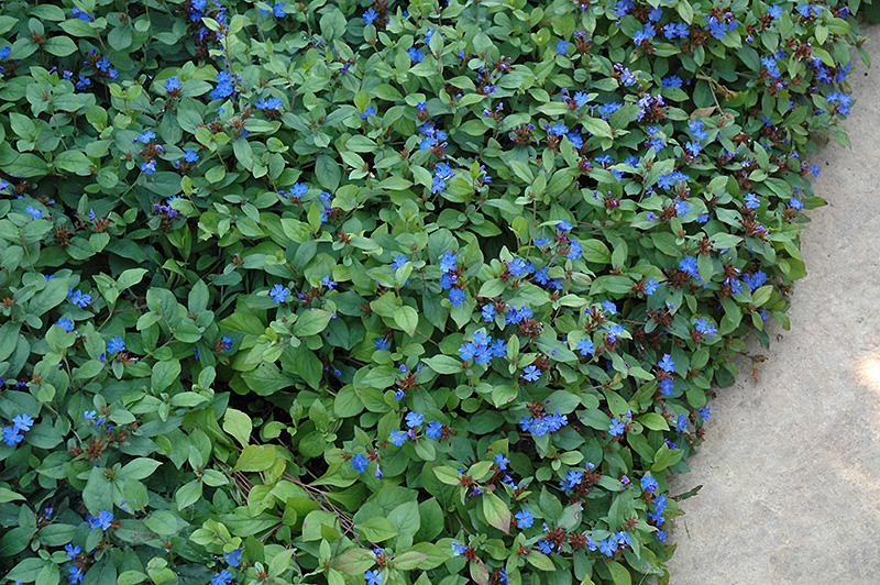 plumbago ceratostigma plumbaginoides in columbus dublin delaware grove city gahanna bexley. Black Bedroom Furniture Sets. Home Design Ideas