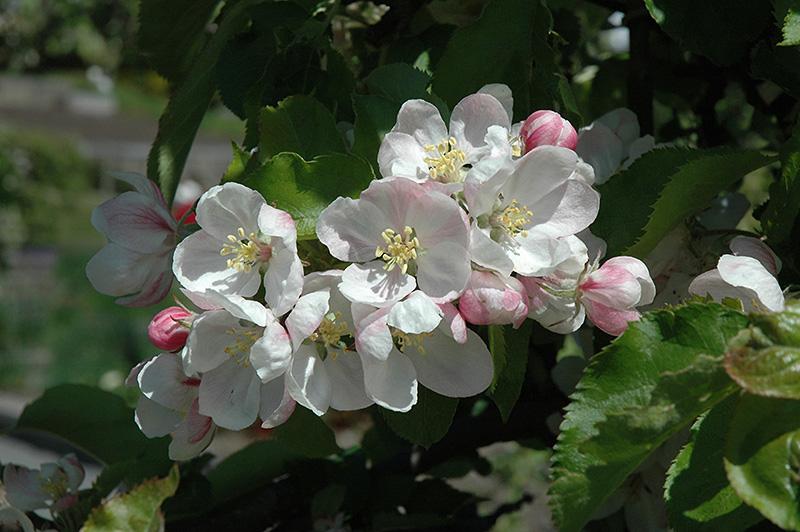 jonagold pollinator