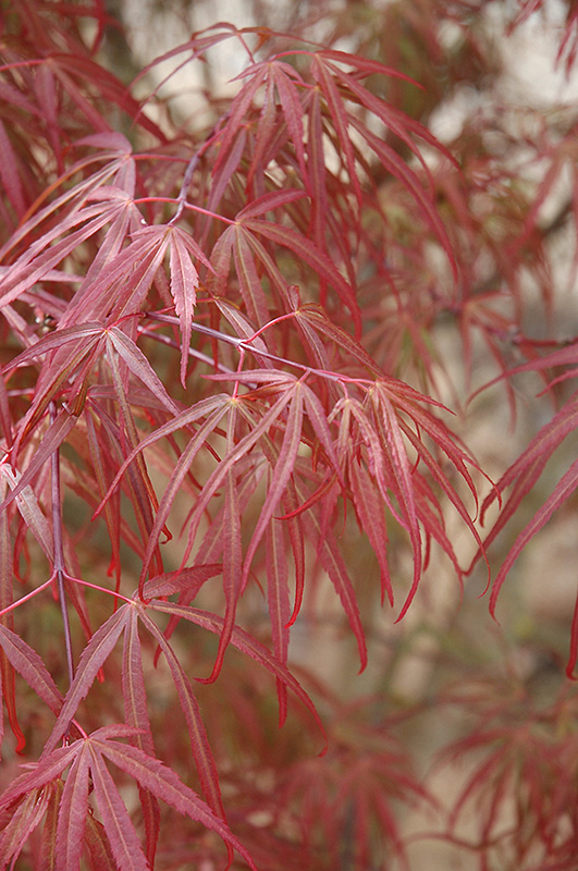 Ribbon leaf japanese maple acer palmatum 39 atrolineare Japanese maple leaf
