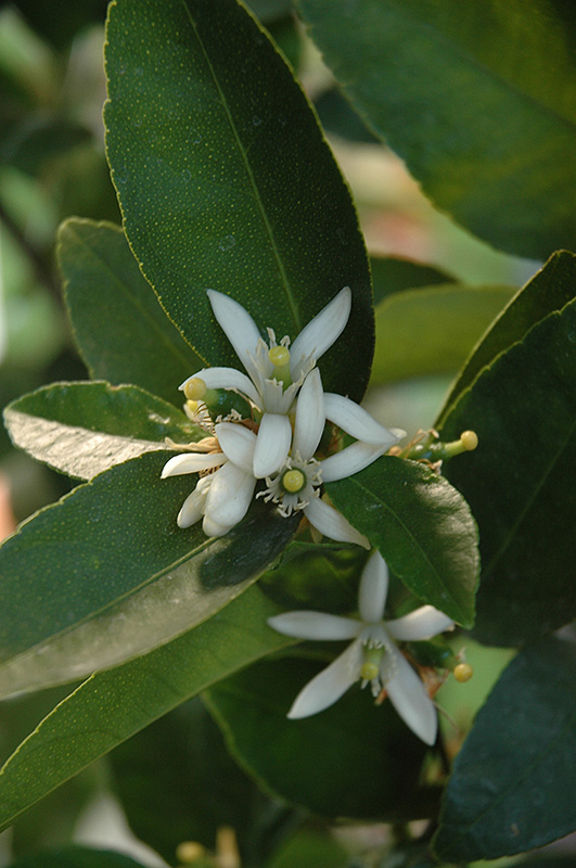 Bearss Seedless Lime Citrus Aurantifolia Bearss Seedless