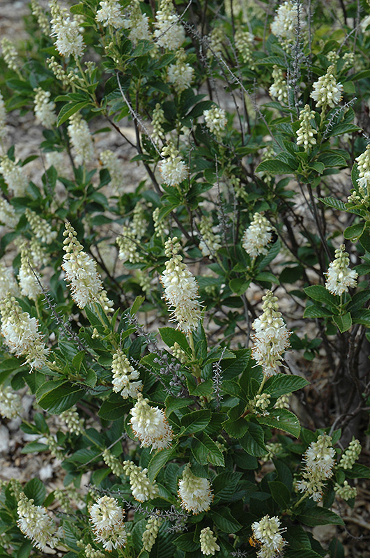 September Beauty Summersweet Clethra Alnifolia September