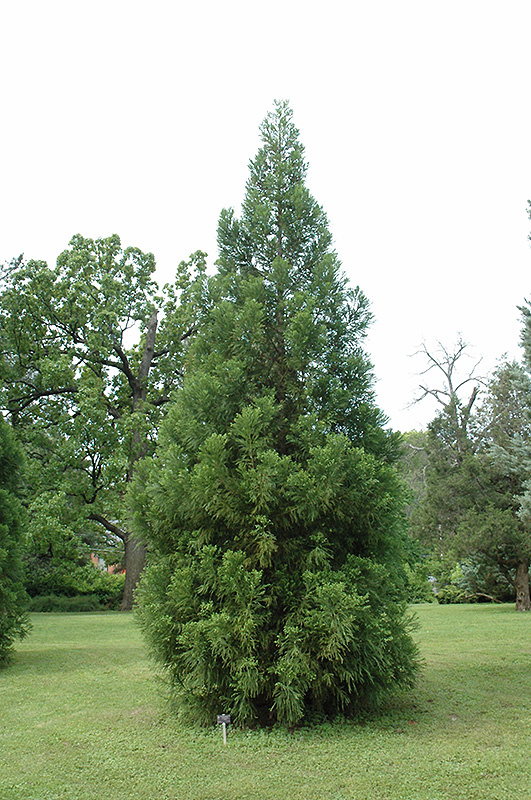 Yoshino Japanese Cedar Cryptomeria Japonica Yoshino In