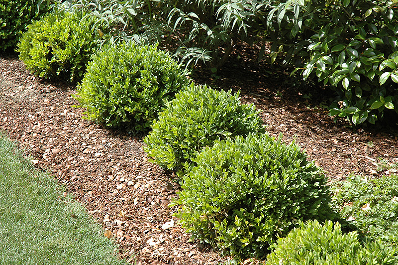 Green Velvet Boxwood Buxus Green Velvet In Columbus