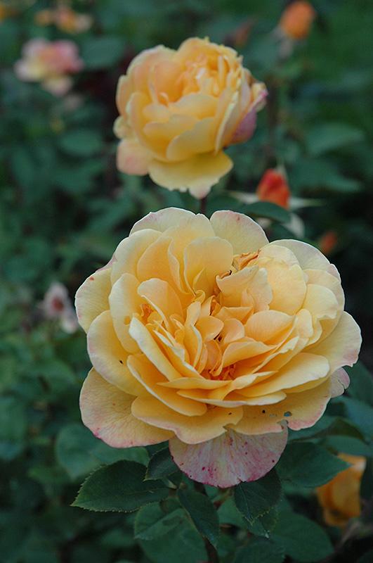 Strike It Rich Rose Rosa Strike It Rich In Columbus
