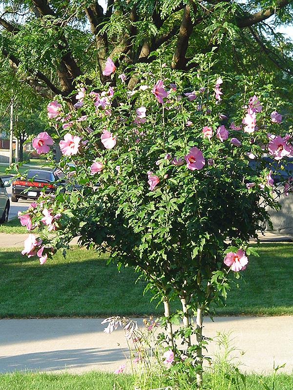 Aphrodite Rose Of Sharon Hibiscus Syriacus Aphrodite In Columbus