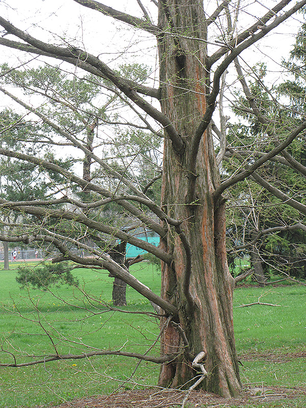 Tall City Delivery >> Dawn Redwood (Metasequoia glyptostroboides) in Columbus ...