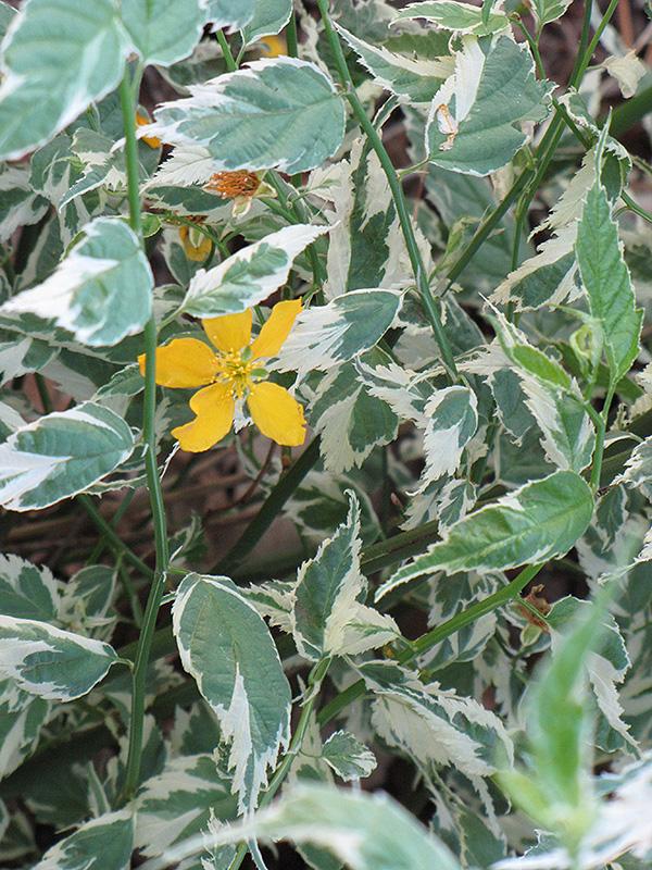 ... Picta Japanese Kerria (Kerria japonica Picta) at Oakland Nurseries