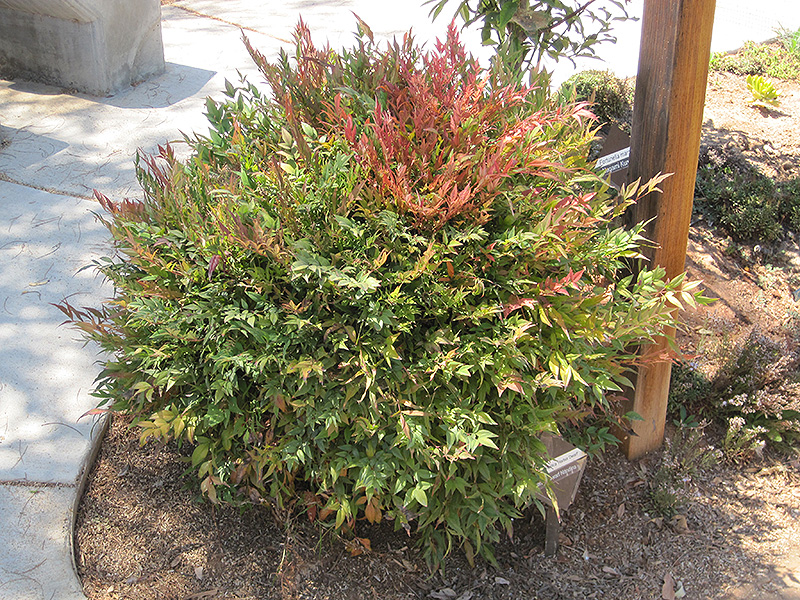 harbour dwarf nandina nandina domestica 39 harbour dwarf 39 in columbus dublin delaware grove city. Black Bedroom Furniture Sets. Home Design Ideas