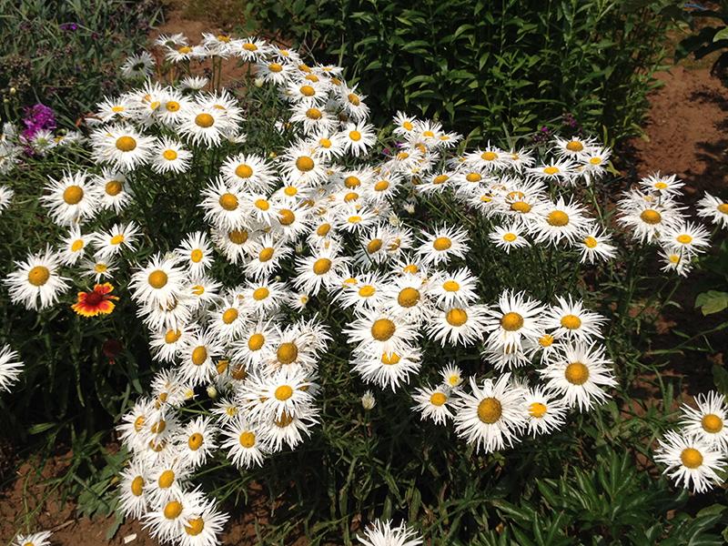 Crazy Daisy Shasta Daisy (Leucanthemum x superbum 'Crazy Daisy') at Oakland Nurseries