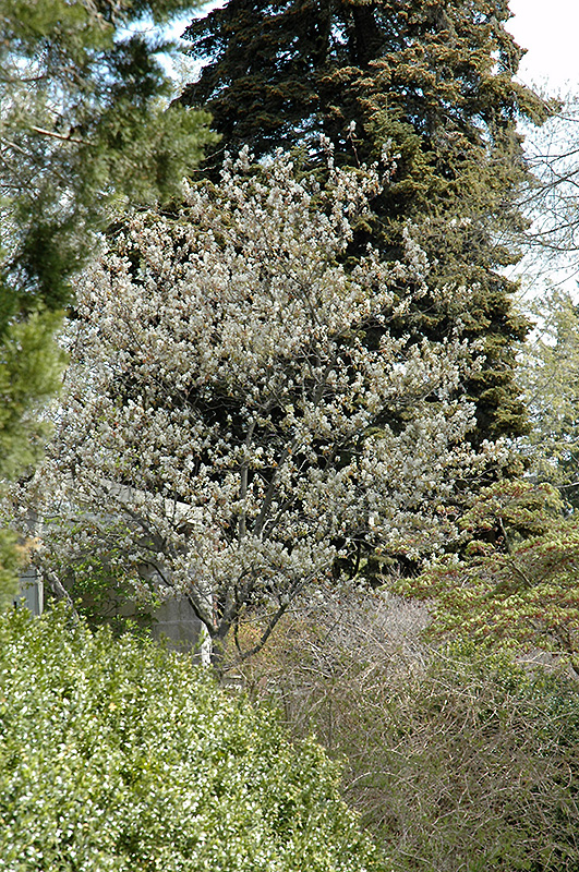 Allegheny serviceberry amelanchier laevis in columbus dublin allegheny serviceberry amelanchier laevis at oakland nurseries inc altavistaventures Gallery