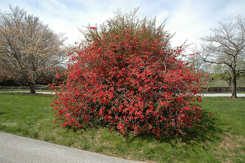 Texas Scarlet Flowering Quince Chaenomeles Speciosa