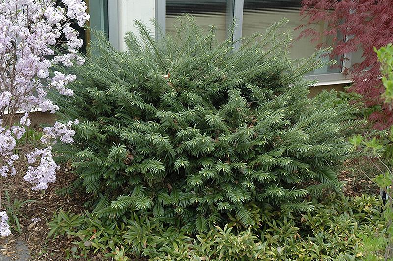 Duke gardens plum yew cephalotaxus harringtonia 39 duke gardens 39 in columbus dublin delaware for Duke gardens plum yew