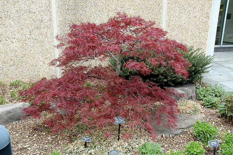 Red Dragon Maple Red Dragon Japanese Maple