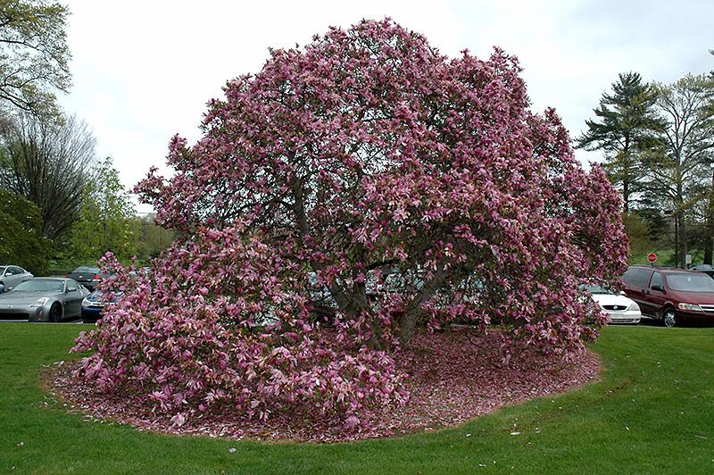 Betty Magnolia Magnolia Betty In Columbus Dublin Delaware Grove