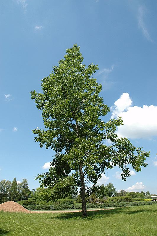 Bigtooth Aspen Populus Grandidentata In Columbus Dublin