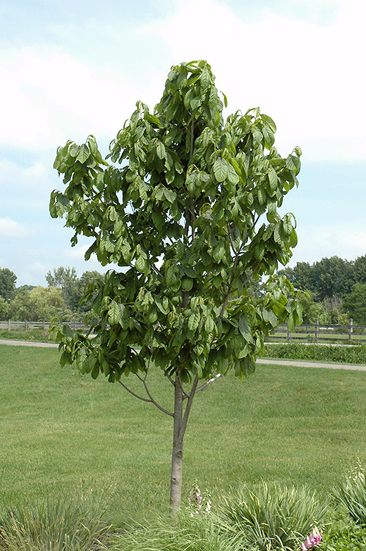 common paw paw asimina triloba in columbus dublin. Black Bedroom Furniture Sets. Home Design Ideas