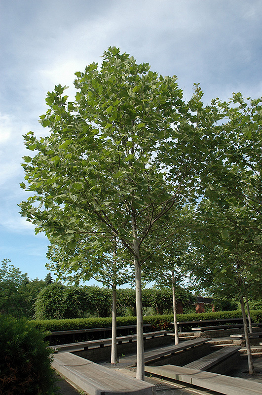 Exclamation London Planetree Platanus X Acerifolia