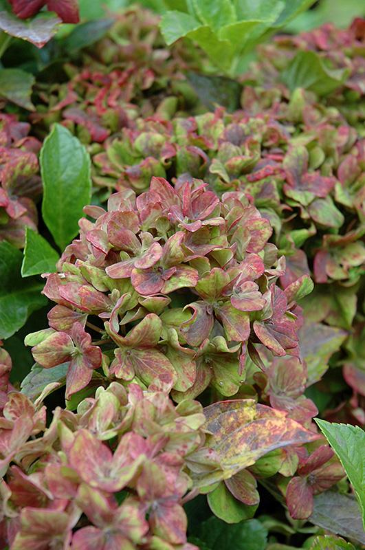 Pistachio Hydrangea Hydrangea Macrophylla Horwack In
