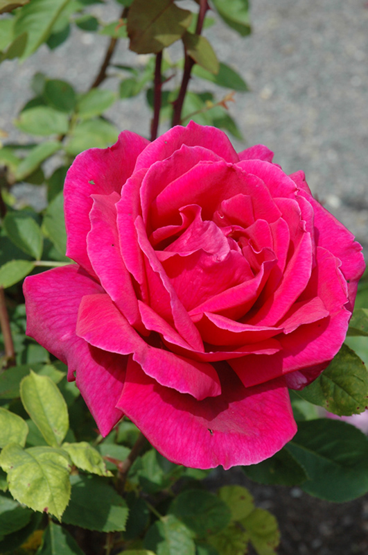Imperial Roses