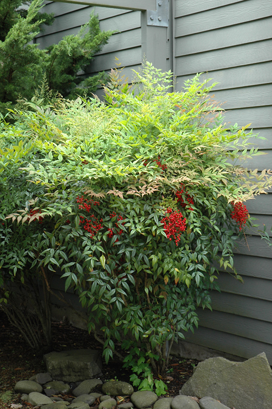 Nandina nandina domestica in columbus dublin delaware for Plante nandina