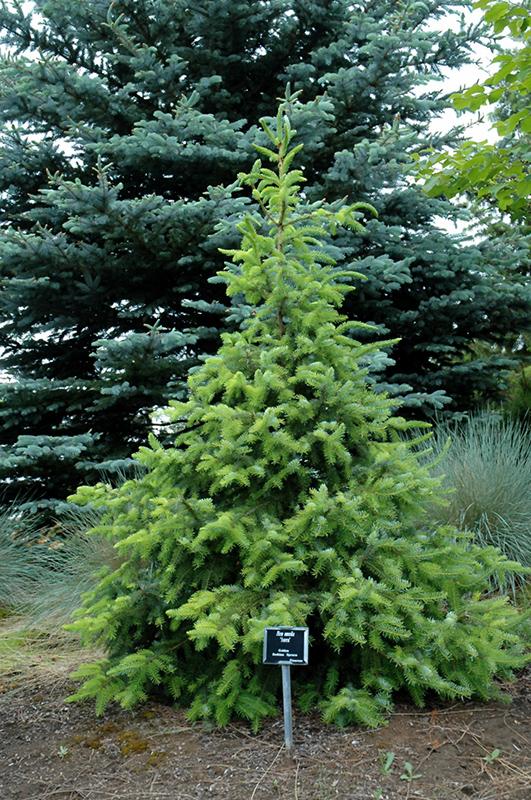 Golden Serbian Spruce Picea Omorika Aurea In Columbus