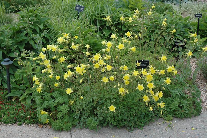 Denver Gold Columbine Aquilegia Chrysantha At Oakland Nurseries Inc