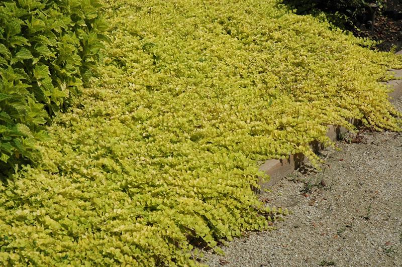 Goldilocks Creeping Jenny Lysimachia Nummularia