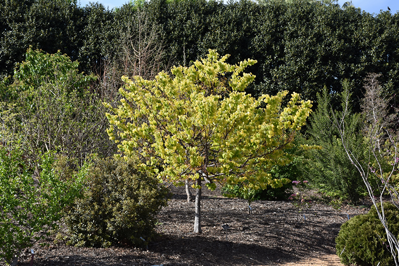 Redbud The Rising Sun 15g Cercis Canadensis Jn2 Pp21451