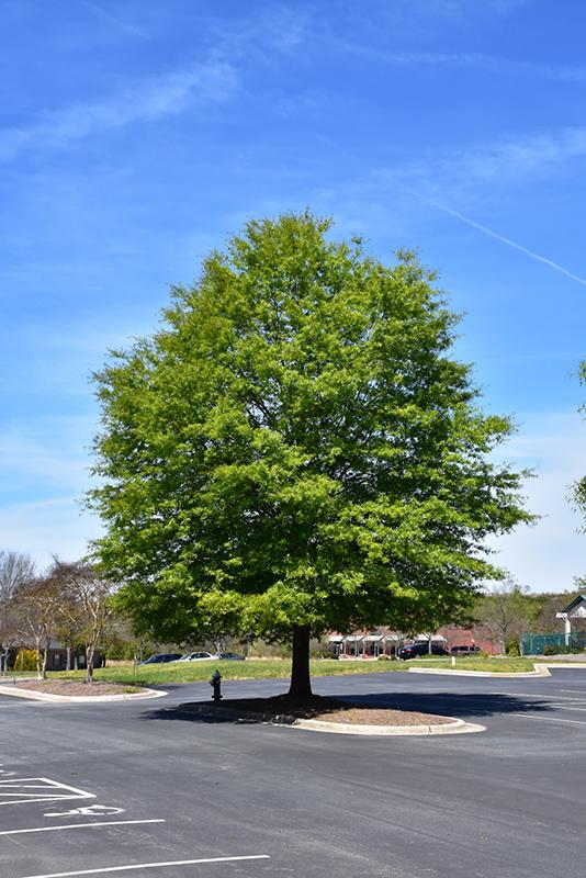 Willow Oak Quercus Phellos In Columbus Dublin Delaware