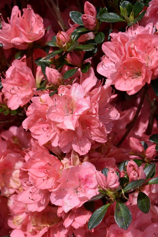 Blaauws pink azalea rhododendron blaauws pink in columbus blaauws pink azalea rhododendron blaauws pink at oakland nurseries inc blaauws pink azalea flowers mightylinksfo