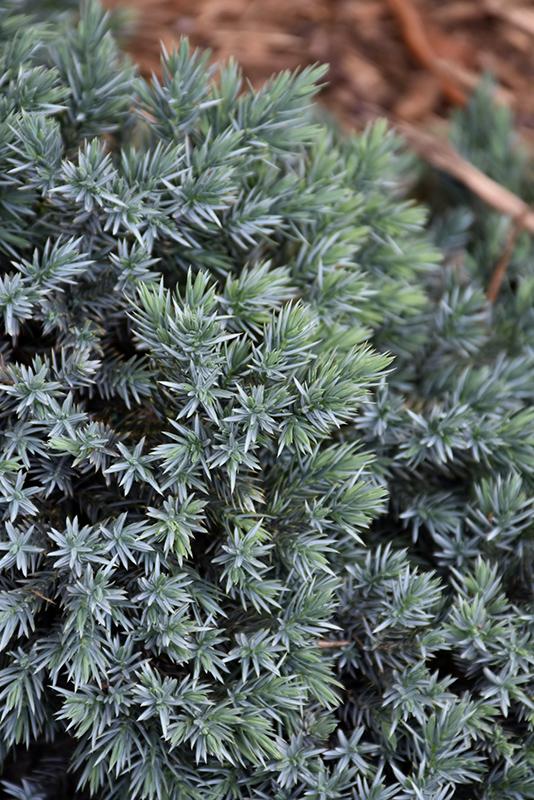 Blue Star Juniper Juniperus Squamata Blue Star In