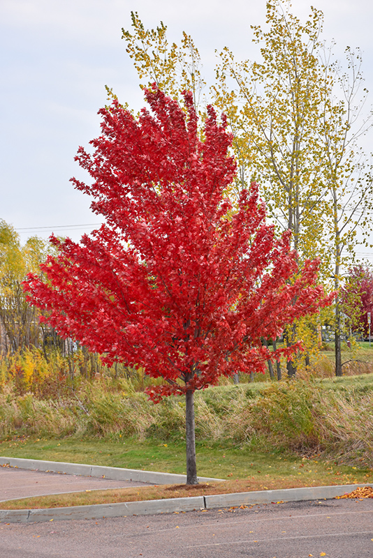 Autumn Spire Red Maple Acer Rubrum Autumn Spire In