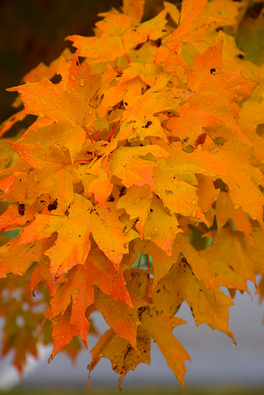 Majesty Sugar Maple Acer Saccharum Flax Mill Majesty In Columbus