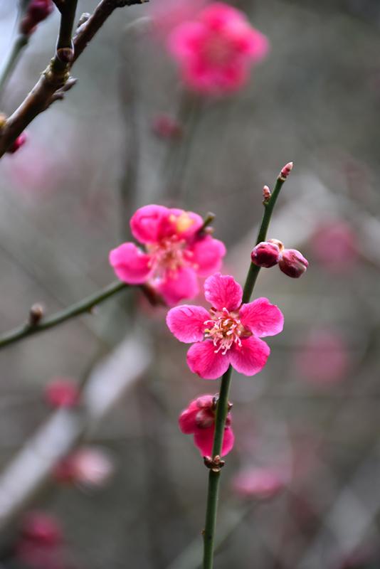 Japanese Apricot Prunus Mume In Columbus Dublin Delaware