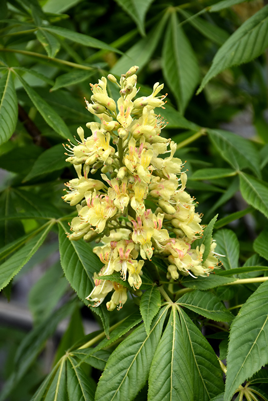 Ohio Buckeye Aesculus Glabra At Oakland Nurseries Inc