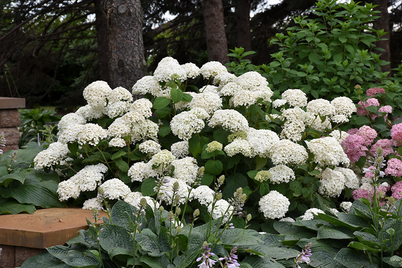 Annabelle Hydrangea Arborescens At Oakland Nurseries Inc