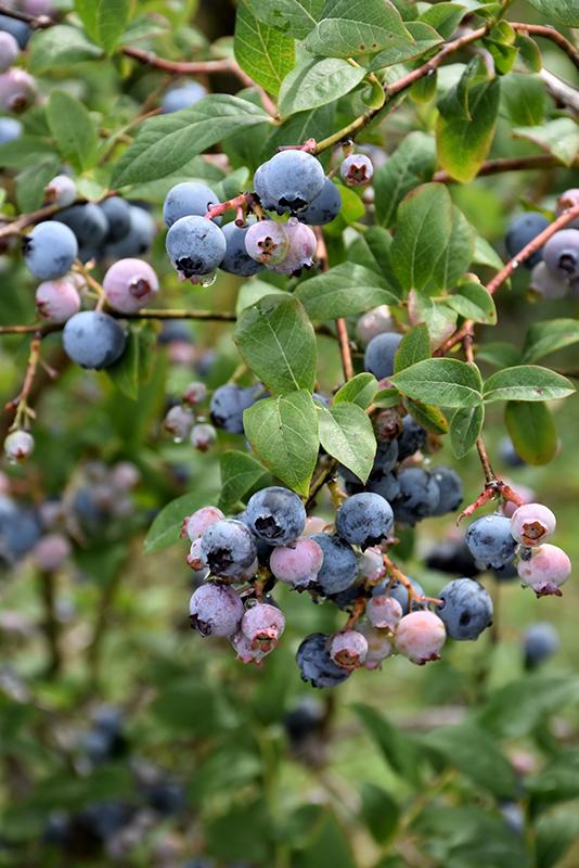 Earliblue Blueberry Vaccinium Corymbosum At Oakland Nurseries Inc