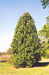 Swiss Stone Pine (Pinus cembra) at Oakland Nurseries Inc