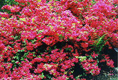 Hino Red Azalea (Rhododendron 'Hino Red') at Oakland Nurseries Inc