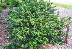 Blue Girl Meserve Holly (Ilex x meserveae 'Blue Girl') at Oakland Nurseries Inc