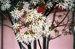 Ballerina Serviceberry (Amelanchier x grandiflora 'Ballerina') at Oakland Nurseries Inc