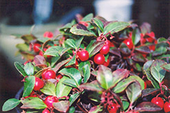 Creeping Wintergreen (Gaultheria procumbens) at Oakland Nurseries Inc