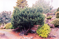 Dwarf Japanese Red Pine (Pinus densiflora 'Pygmaea') at Oakland Nurseries Inc