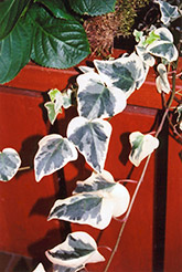 Variegated English Ivy (Hedera helix 'Variegata') at Oakland Nurseries Inc