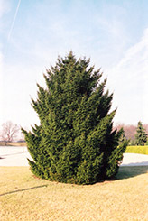 Oriental Spruce (Picea orientalis) at Oakland Nurseries Inc