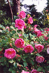 Carefree Beauty Rose (Rosa 'Carefree Beauty') at Oakland Nurseries Inc